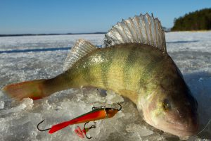 Ice fishing catch, perch.
