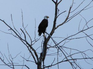 Tamarack Lodge Eagle